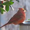 Male Cardinal at Birdbath