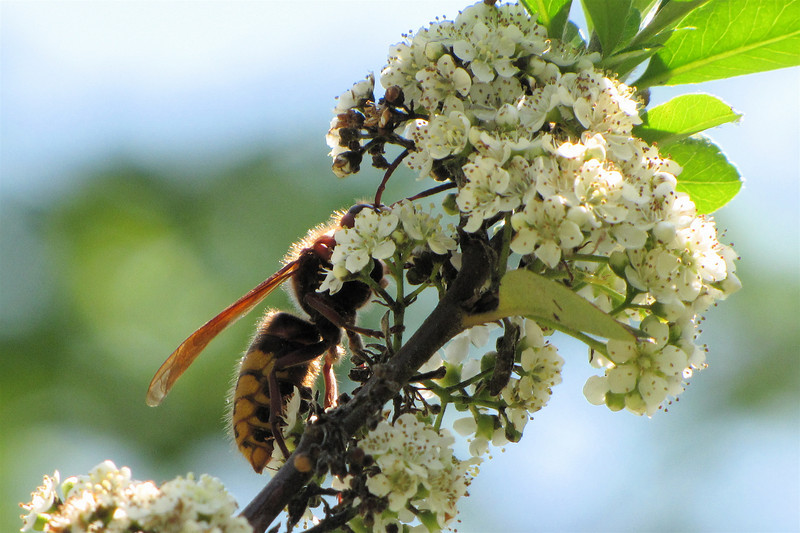 Huge Wasp on Pyracantha Blooms