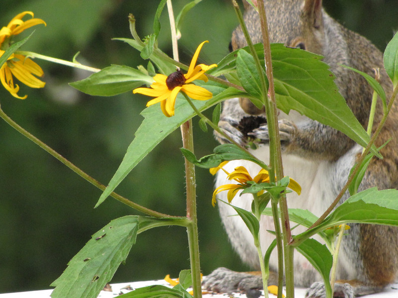 Squirrel Eating Black-eyed Susan Seed Heads After Plucking The Flower Off The Plant
