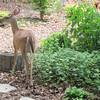 Deer Enjoying Watermelon Rind