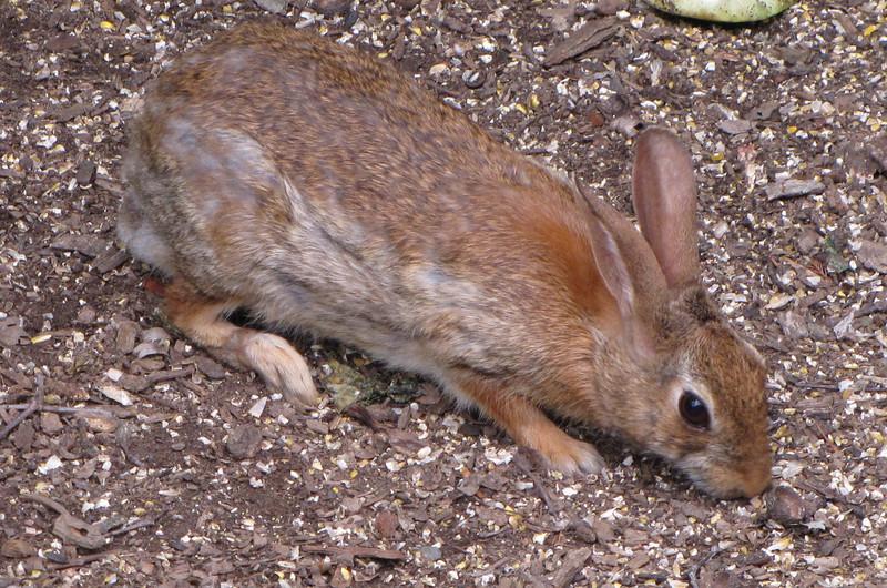 Rabbit Eating Corn