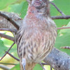 Diseased House Finch - Even Wildlife Needs Prayer Against Disease