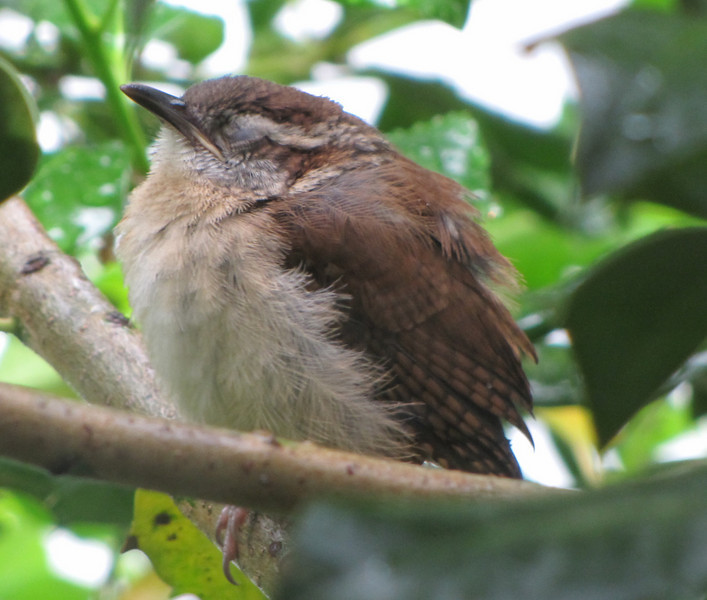 Wren Fledgling in Holly Tree at Window - Taking a Nap While Waiting for Food Delivery