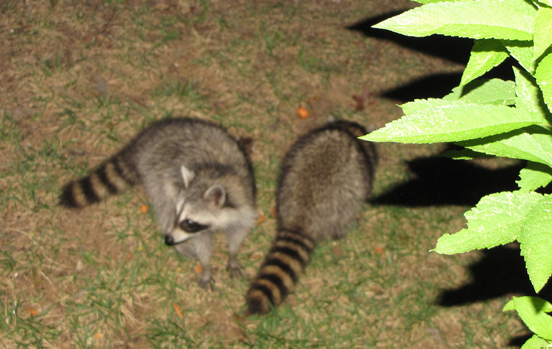 Two of Three Young Raccoons Visiting at Night