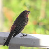 Male House Finch on Front Porch Rail