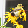 American Goldfinch on Black-eyed Susans Eating the Seeds