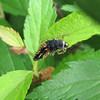 Ladybug - Larvae Stage