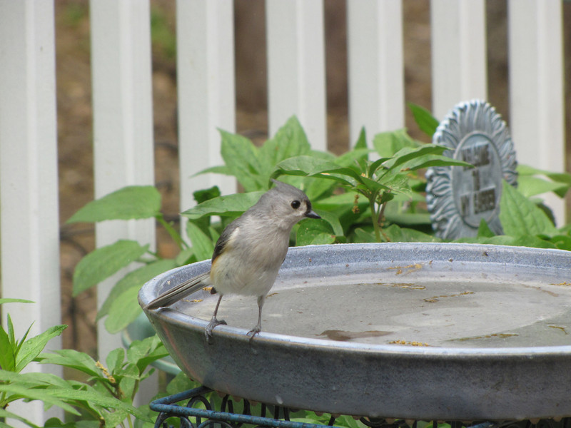 Tufted Titmouse at Birdbath Deciding