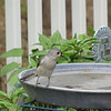 Tufted Titmouse at Birdbath Deciding