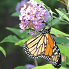 Female Monarch Butterfly