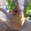 Female Cardinal at Feeder
