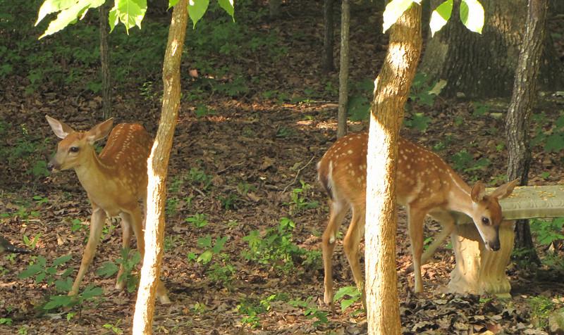 Fawns In Back Yard - Baby Deer Are SOOO Cute