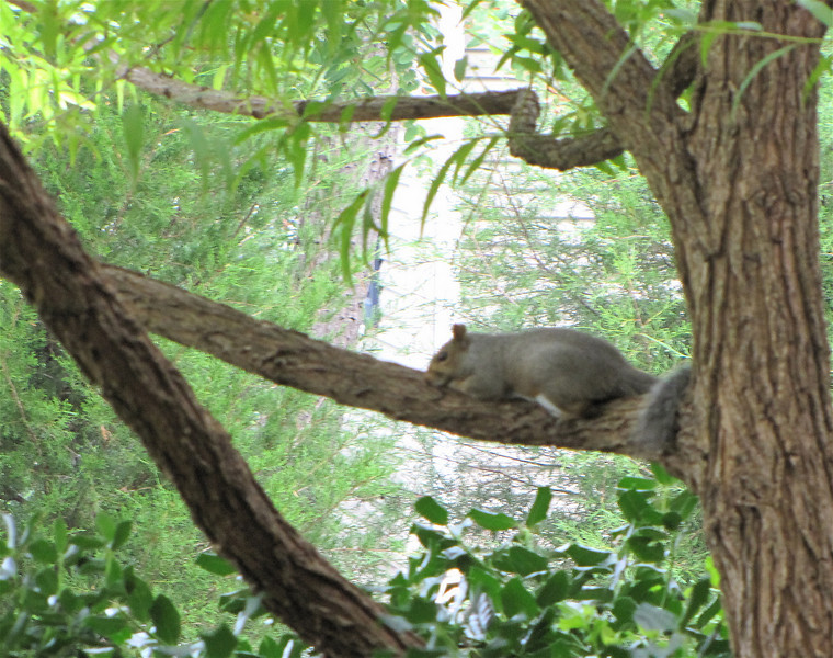 Squirrel on Black Willow Branch by Porch