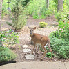 Deer Close to House