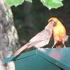 Papa Cardinal Feeding Fledgling