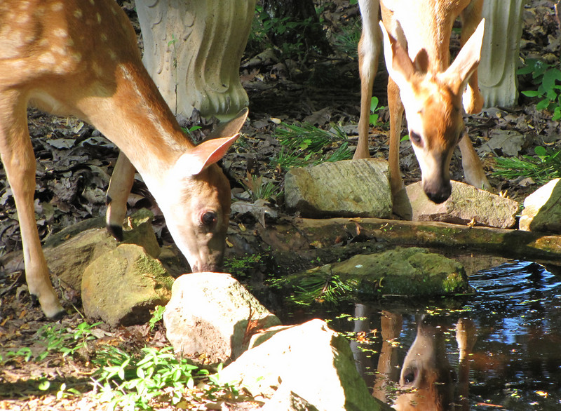 Fawns At The Pond - Who Is That Other Deer In The Water