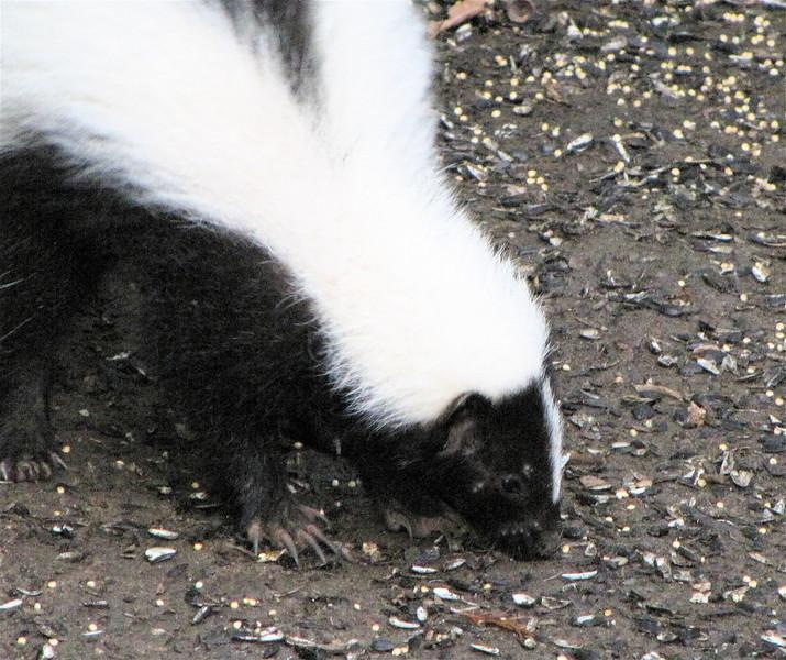 Striped Skunk in Backyard
