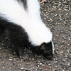 Striped Skunk in Backyard