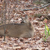 Deer Resting in Front Yard - Seems to Be a Runt
