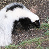 Striped Skunk Profile View in Backyard