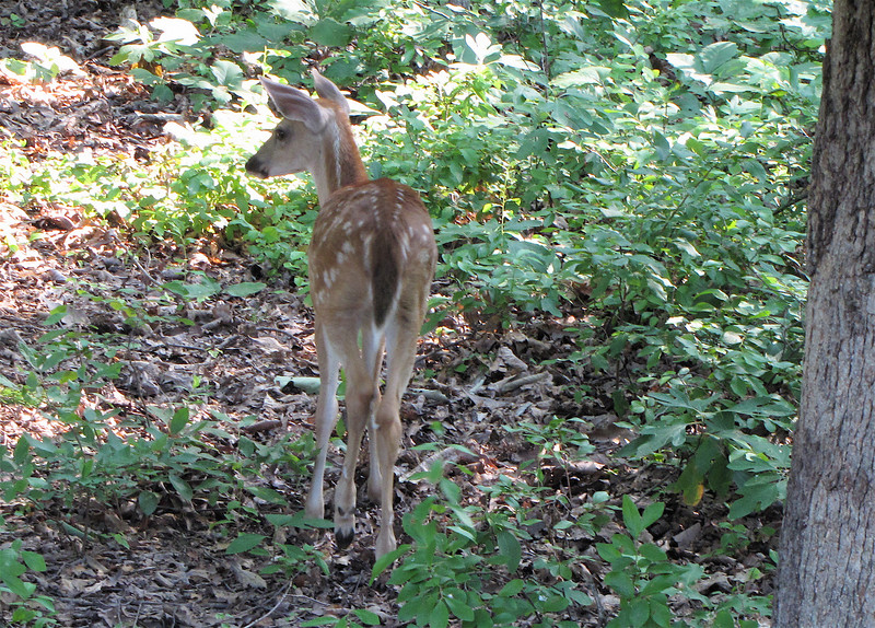Fawn Out Back - Doe Nearby