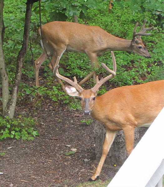 Father and Son Deer with Antlers in Backyard