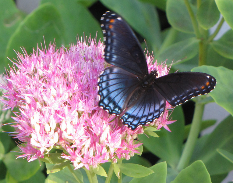 Red-spotted Purple Admiral Butterfly (Male) on Sedum