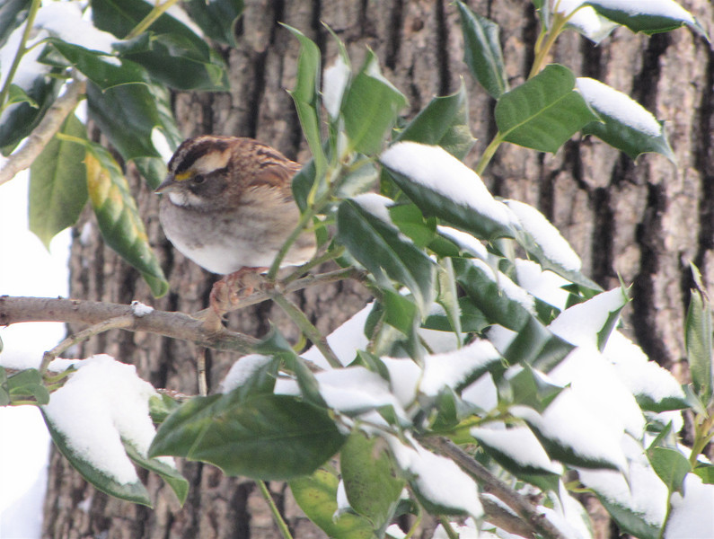 Snowy Day for White-throated Sparrow