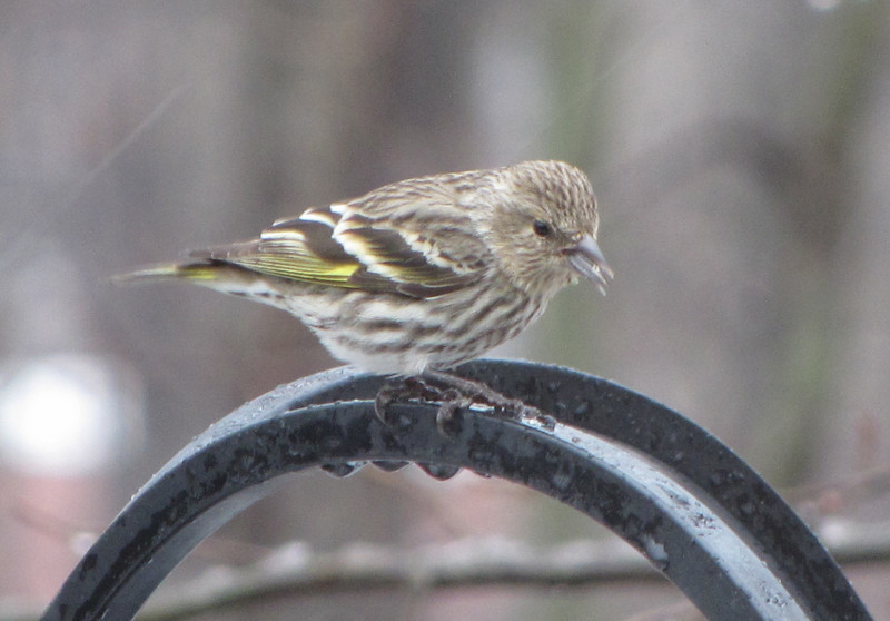 Pine Siskin in the Rain