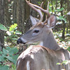 Young Male Deer In Backyard