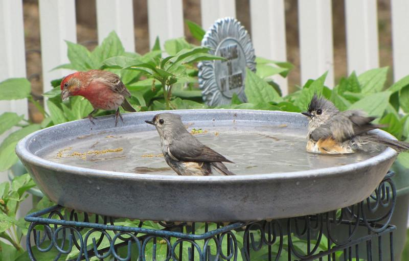 Male Purple Finch and Tufted Titmice at Birdbath