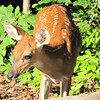 Fawn In Back Yard - She Has a Wound on Her Back - Baby Deer Are SOOO Cute