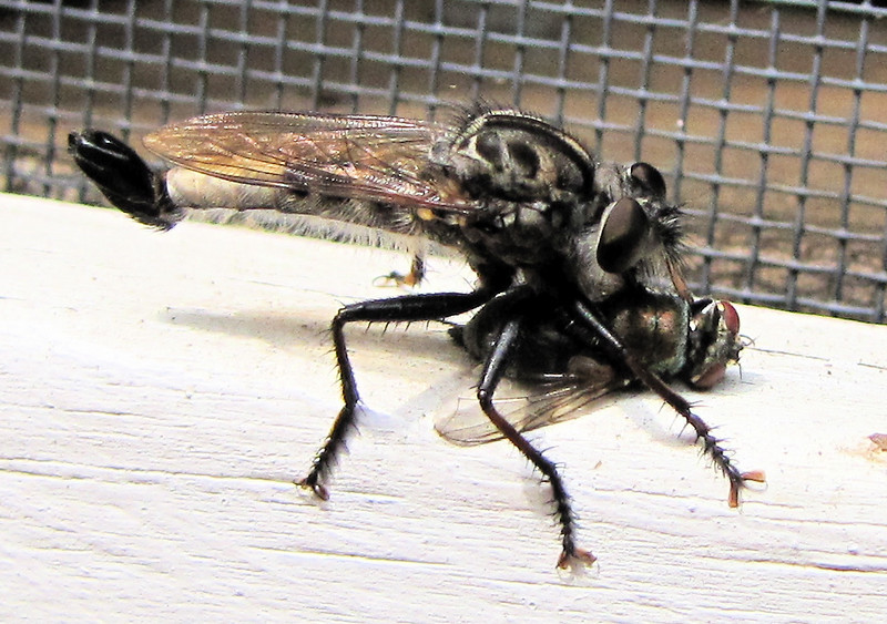 Male Efferia Robber Fly with Meal of a Fly