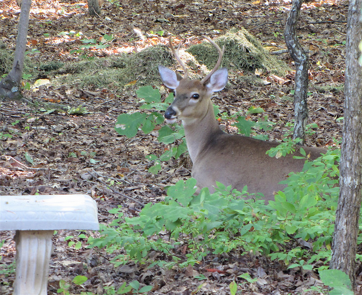 Young Male Deer Resting Behind Our Pond Bench