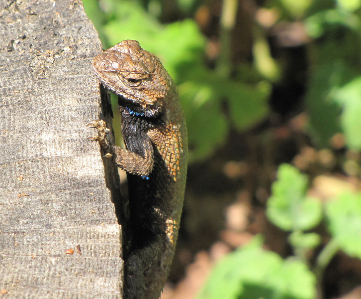 Lizard on Stump in Front Garden