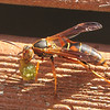 Wasp With Something in Its Mouth