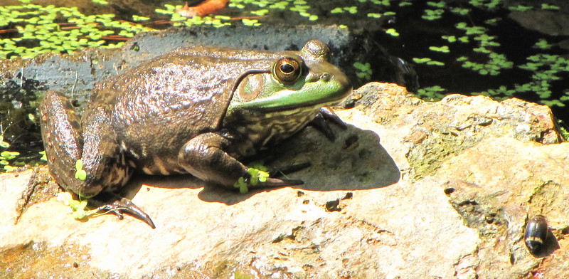 Female Bullfrog on Rock in Our Pond