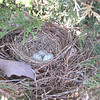 Cardinal Nest on Cardinal Corner - 3 Eggs