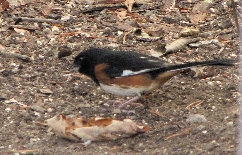 Rufous-sided Towhee Blends Into Ground Colors