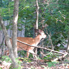 Deer Passing Through Neighbor's Yard - Large Buck