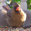 Female Cardinal Front View