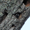 White-breasted Nuthatch in Nest Hole