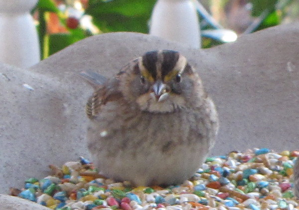 White-throated Sparrow - Front View