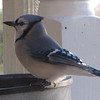 Blue Jay at Heated Birdbath