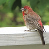 Male Purple Finch on Deck Rail