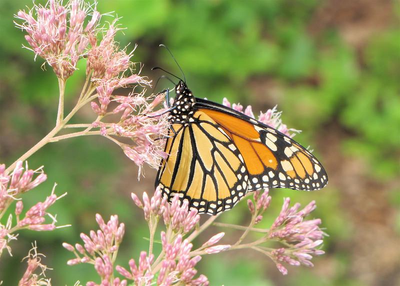 Monarch On Joe Pye Weed Blooms