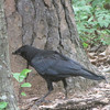 American Crow Behind Pond