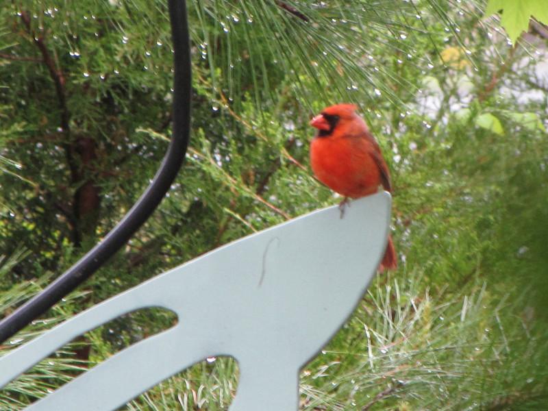 Male Cardinal On One Leg