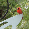 Male Cardinal On One Leg