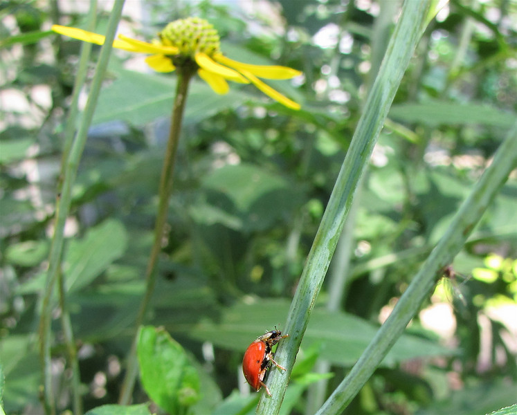Ladybug and Coneflower